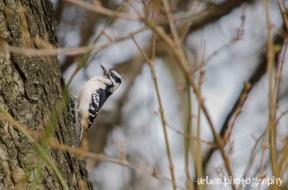 female downy woodpecker 2