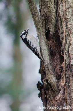 female downy woodpecker 1