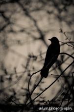 Raven-esque