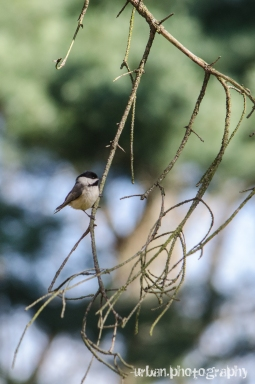chicadee in a tree 2