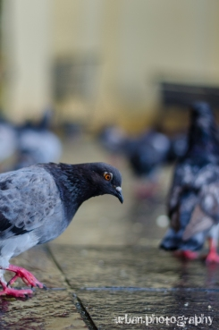 a photo-bombing pigeon